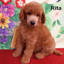 Smith Standard Poodles Parti Phantom Solid Colored Akc