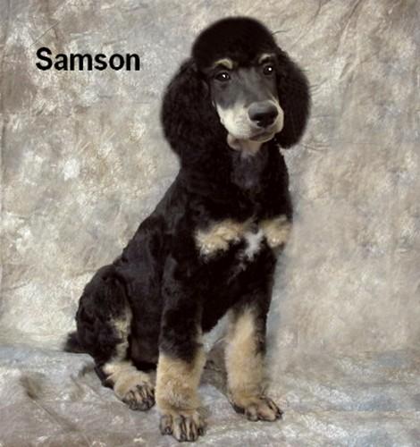 Samson Smith Standard Poodles