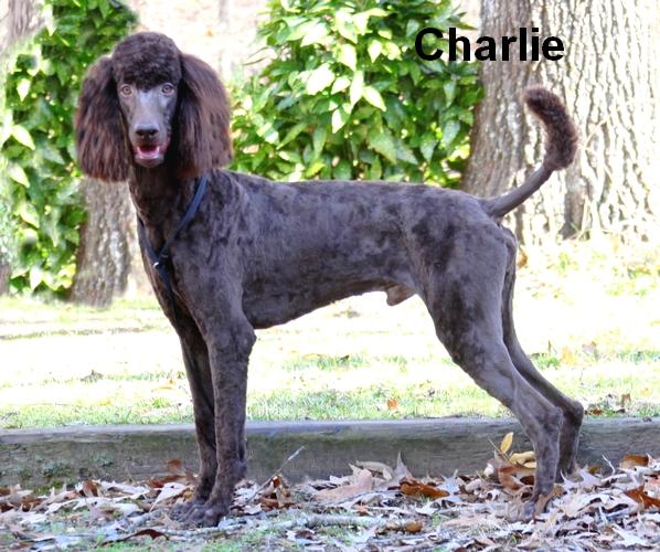 Charlie   Smith Standard Poodles