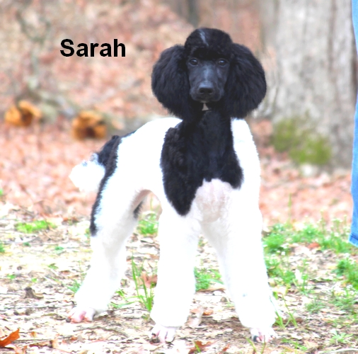 Parti Poodles For Sale | Smith Standard Poodles