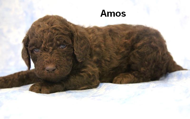 Leila2gus2 Smith Standard Poodles