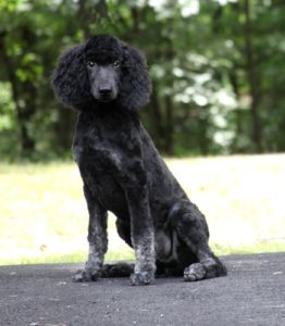 Older Pups, Adult and Retired Poodles Available | Smith